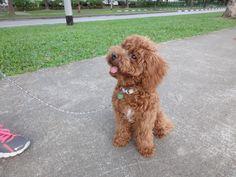 Choco Toy poodle   Pawshake Singapore