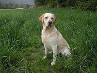 Annie-Yellow Labrador Retriever - fetch and retrieve, rather than hunt.