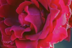 Rosa rossa - null