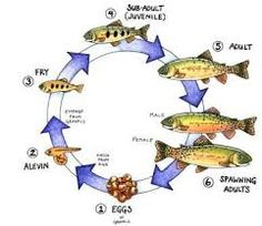 trout life cycle - Google Search