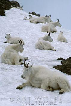 Mountain Goats, Olympic National Park, Washington