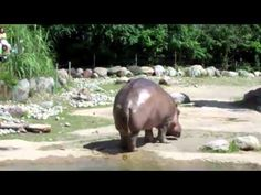 Zoo frequenters probably don't expect the animals to fart when they visit, but today one did quite well. Spectators received a bum full of a hippo's fart today, and it went viral. Fart Humor, Can't Stop Laughing, Laughing So Hard, Prout, Funny Animals, Cute Animals, Wild Animals, Mejor Gif, Leg Curl