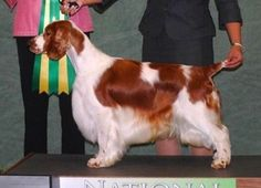 Fancy That: Welsh Lad and Lassie Top North Carolina Shows   Best In Show Daily   2013