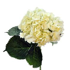 FiftyFlowers.com - Hydrangea Ivory White Flower - Wholesale Wedding Flowers