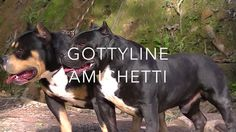 Xtreme Bully Tricolored Bully Gottyline Daxline Pax American Bully IPC I...