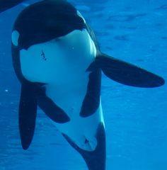 Orcas Seaworld, Killer Whales, Sea World, Dolphins, Cute Animals, Nagoya, Sharks, Public, Men's