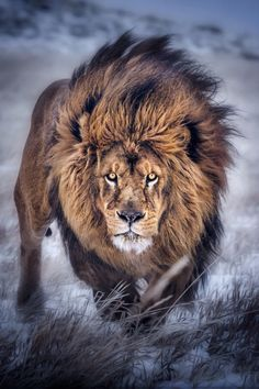 Majestic Lion! He does look like the King of The Jungle! Beautiful photo #INOSKNAYAM #inosmayank