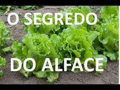 Aprenda o Segredo para colher alface muito mais rápido - YouTube Herb Garden, Vegetable Garden, Home And Garden, Growing Seeds, Self Watering, Healthy Habits, Soul Food, Lettuce, Celery
