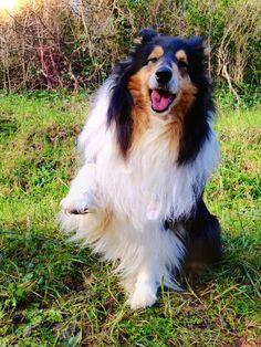 Happy BDay Candy by hermio.deviantart.com on @DeviantArt #lassie #candy #collie #dogs #hermio #miao #black