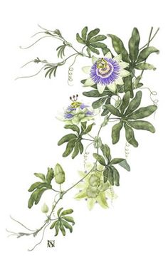 Passionflower Passion Flower Illustration
