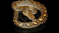 Normal male het albino retic from prehistoric pets priced at $125