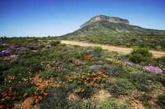 The Telegraph and Africa Travel have teamed up to bring you a unique escorted tour, exploring the magnificent wild flowers and gardens of South Africa.
