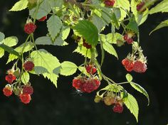 Hallon, Rubus idaeus - Träd och buskar - NatureGate Plant Leaves, Berries, Rose, Plants, Pink, Bury, Plant, Roses, Planets