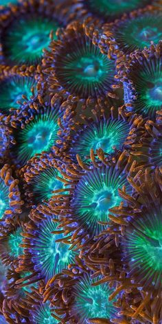 Zoanthids are an order of cnidarians commonly found in coral reefs, the deep sea… – Animals Beautiful Sea Creatures, Deep Sea Creatures, Underwater Creatures, Underwater Life, Poisson Mandarin, Fauna Marina, Sea Anemone, Sea And Ocean, Patterns In Nature