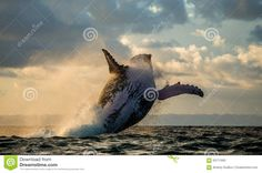 Jump Into The Sky. Jump Humpback Whale. - Download From Over 49 Million High Quality Stock Photos, Images, Vectors. Sign up for FREE today. Image: 50711900