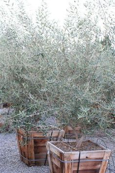 Olive Tree: Use in large pots or planters.  Easy to prune, fast growing and perfect for the theme of the house.  Both Spanish and modern.
