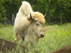 """Givin' how crazy-rare """"white buffalo"""" are... & finding this with other Cattalo, it's probably a Cattalo:)  Cattalo (Buffalo & Domestic Cattle Hybrid)"""