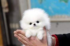 Cute White Teacup Pomeranian Puppy