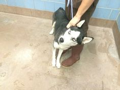 Young husky surrendered to animal control for being 'too energetic'  Chicago Animal Care & Control  Chicago  IL