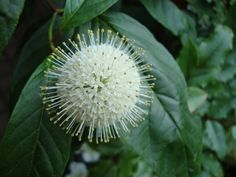 Cephalantus occidentalis in my garden