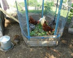 Compost pile in the chicken run.