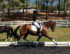 Royal Dorinda- 3rd Level, 6 year old, Oldenburg mare