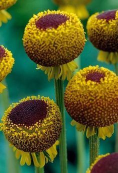 Helenium Autumn Lollipop, aka 'Sneezeweed' - beautiful colors.  I'm fascinated too that this one image is used on about 5 different retail sites, and seems to be the best image of this plant that the Interwebs as to offer.  If I grow it, could I do better?  ;)