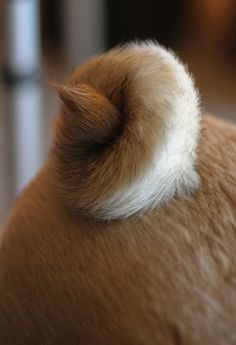 curly Q tails