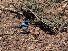 Blue Jay, Australia, Bird, Animals, Animales, Animaux, Birds, Animal, Animais