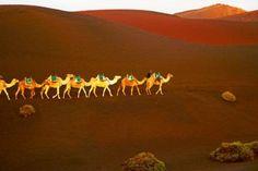 Lanzarote ist die einzige Kanareninsel mit Dromedaren