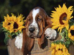 Bassett in a basket full of sun!  ❀