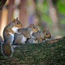 Three squirrels sitting in a tree