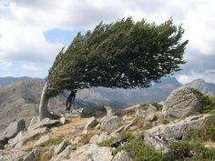 Stephan AGNEZY  Fagus sylvatica in Corsica  France