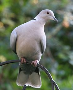 Collard Dove - back garden  These doves show up at our feeders often.