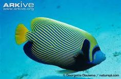 Learn more about the Emperor angelfish - with amazing Emperor angelfish videos, photos and facts on Arkive Side Profile, Angel Fish, Emperor, Animals, Coral, Patterns, Google Search, Kids, Block Prints
