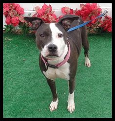 Pictures of BEAUTY a Pit Bull Terrier for adoption in Marietta, GA who needs a loving home.