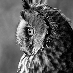 Long Eared in Black and White