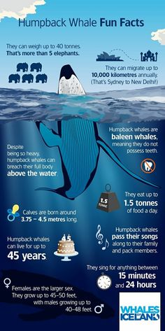 Humpback whale - fun facts