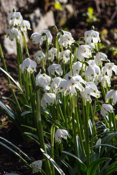 49f6c8440ff342 Leucojum vernum is one of a fantastic selection of spring planted bulbs and  plants that can be ordered online from Avon Bulbs.
