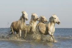 Camargue Horses in Lake by Robert Bannister on 500px