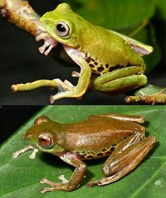 Scientists Discover RealLife Kermit The Frog In Costa Rica - Real life kermit the frog discovered in costa rica