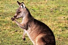 kangaroo  News in Science  What's that Skippy? You're left handed! http://www.abc.net.au/science/articles/2015/06/19/4256727.htm