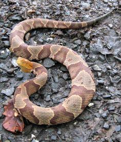Northern Copperhead Snake | photo
