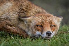 Red Fox by ed71dekkerf | Vroege Vogels