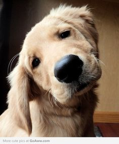 Love golden retrievers!