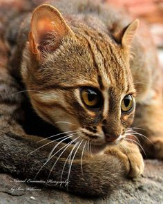 Rusty - Spotted Cat