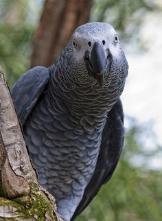 This is Rosie the African Grey Parrot, not my bird or my picture but this is what my bird, Mojo, looks like.
