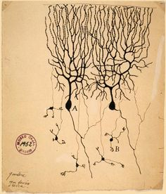 Drawing of Purkinje cells (A) and granule cells (B) from pigeon cerebellum by Santiago Ramón y Cajal, 1899; Instituto Santiago Ramón y Cajal, Madrid, Spain.