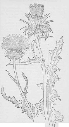 thistle illustration