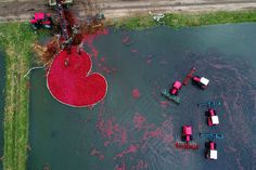 A picture taken with a drone on October 9, 2017, shows Belarusians harvesting cranberries at a farm in the village of Selishche.